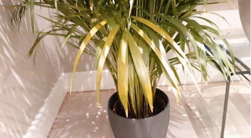 10 causas de las hojas amarillas en las plantas de interior (y soluciones)