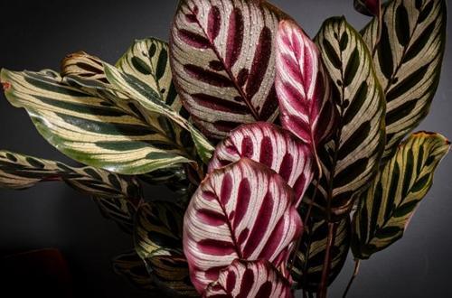 12 impresionantes variedades de Calathea que te encantarán