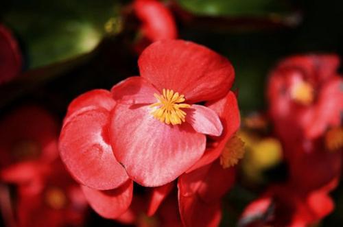 15 hermosas plantas de interior con flores rojas