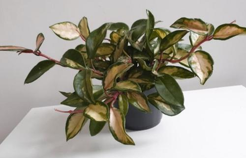 50 hermosas variedades de Hoya (fotos