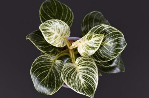 50 impresionantes variedades de filodendro que te encantarán