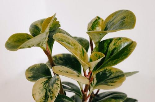 50 impresionantes variedades de Peperomia que te encantarán
