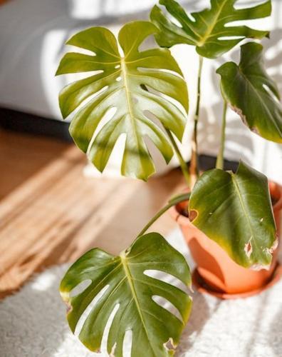 6 formas de evitar que las hojas de monstera se curven