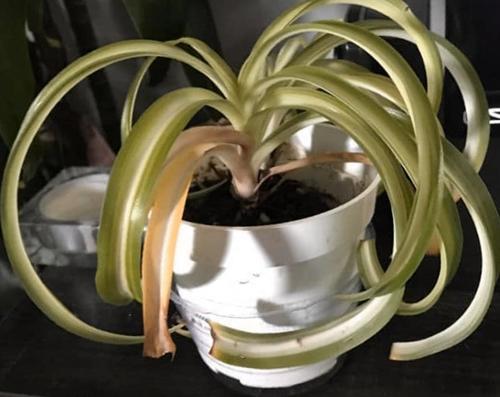 6 formas de solucionar las hojas amarillas de una planta araña