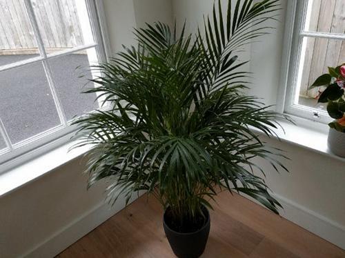 8 maneras de arreglar una palmera areca con puntas y hojas marrones