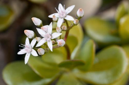 ¿A qué velocidad crecen las plantas de jade? (Y cómo hacer que crezcan más rápido)