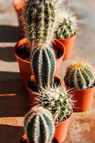 Adaptaciones de los cactus - ¿Cómo se adaptan los cactus al desierto?