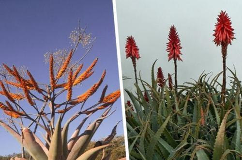 Agave vs Aloe Vera: Diferencias y similitudes