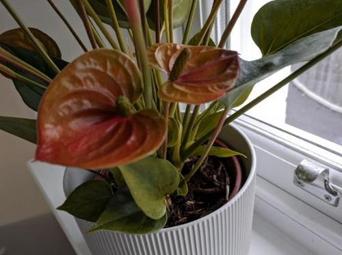 ¿Anthurium no florece? 7 maneras de hacer que florezca