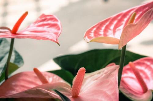 Cómo cuidar el anturio de forma fácil (flor de flamenca)