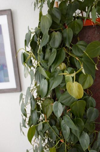 Cómo cuidar el filodendro de hoja de corazón (Philodendron Hederaceum)