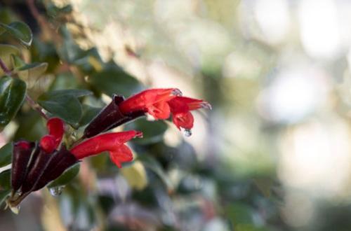 Cómo cuidar la Aeschynanthus Radicans (Planta pintalabios)