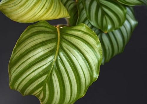 Cómo cuidar la Calathea orbifolia