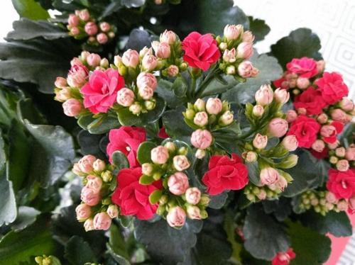 Cómo cuidar la Kalanchoe Blossfeldiana
