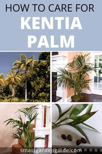 Cómo cuidar la palmera Kentia (Howea Forsteriana)