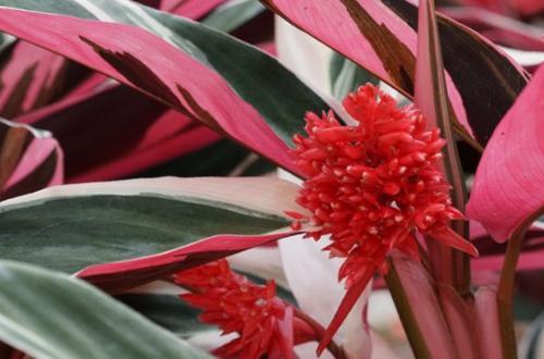 Cómo cuidar la Stromanthe Triostar (Stromanthe Sanguinea)