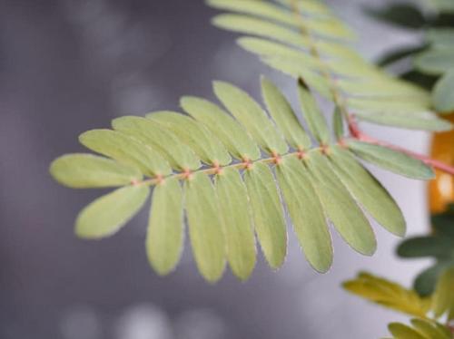 Cómo cuidar mimosa sensitiva (Mimosa Pudica)
