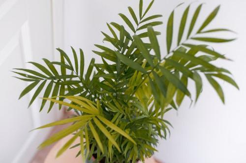 Cómo cuidar una palmera de salón (Chamaedorea elegans)