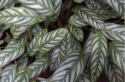 Cómo cuidar una planta Ctenanthe (Centante)