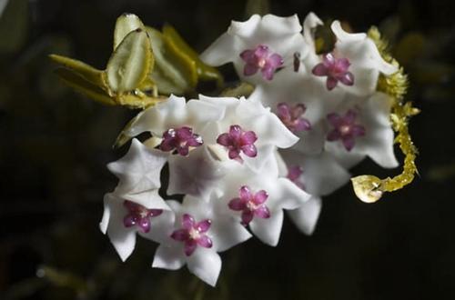 Cómo cuidar una planta de cuerda hindú (Hoya Carnosa Compacta)