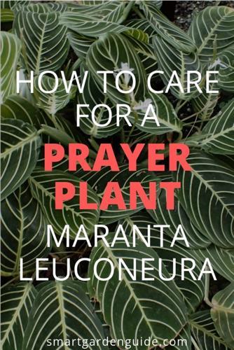 Cómo cuidar una planta de la oración - Maranta (con fotos)