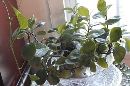 Cómo cuidar una planta de peperomia (con fotos)