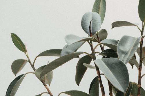 Cómo cuidar una planta del caucho (Ficus Elastica)