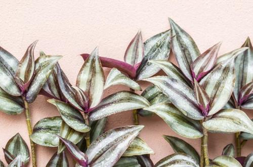 Cómo cuidar una planta judía errante (su guía completa)