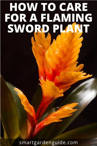 Cómo cuidar una planta vriesea (espada flamígera)