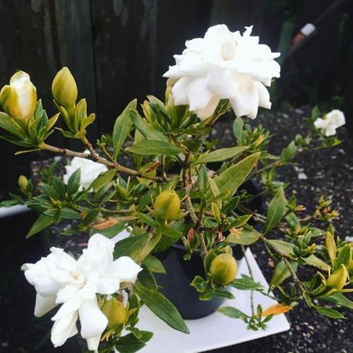 Cómo cultivar gardenias en el interior (consejos para su cuidado)