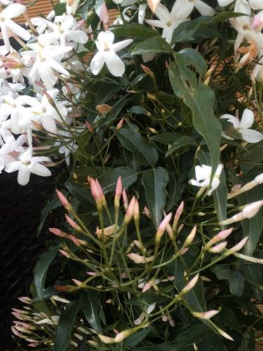 Cómo cultivar jazmín en el interior