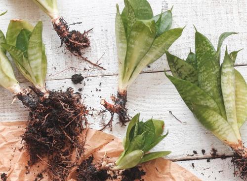 Cómo cultivar y cuidados de plantas de interior