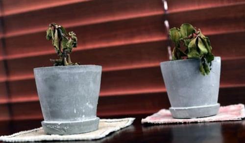 Como evitar que tu planta se marchite después de trasplantarla