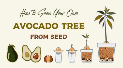 Cómo hacer crecer un árbol de aguacate desde la semilla (con fotos)