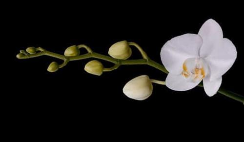 Cómo hacer que las orquídeas Phalaenopsis vuelvan a florecer