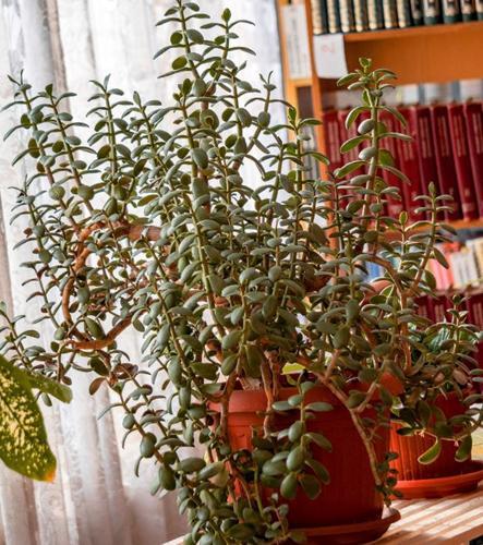 Cómo podar una planta de jade (Crassula Ovata)