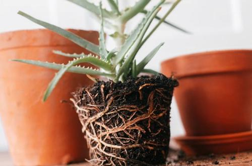 ¿Cómo replantar una planta con las raíces que salen?