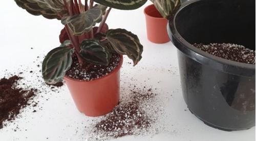 Cómo replantar una planta de interior Calathea - Guía paso a paso