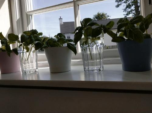 Cómo reproducir la albahaca a partir de esquejes o semillas (con imágenes)