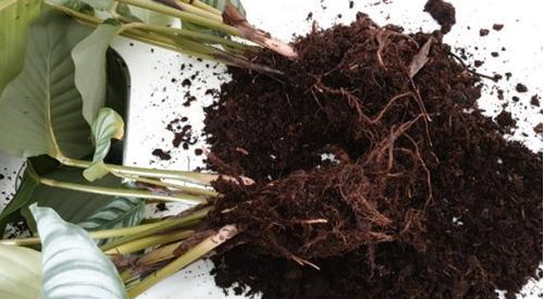 Cómo reproducir las plantas de Calathea