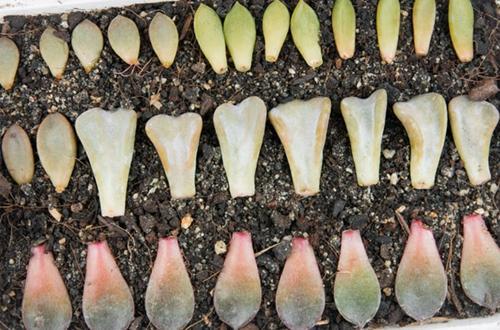 Cómo reproducir las suculentas Echeveria