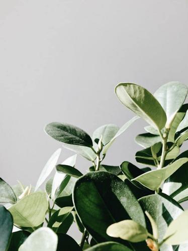 ¿Cómo se limpian las hojas de las plantas de interior?