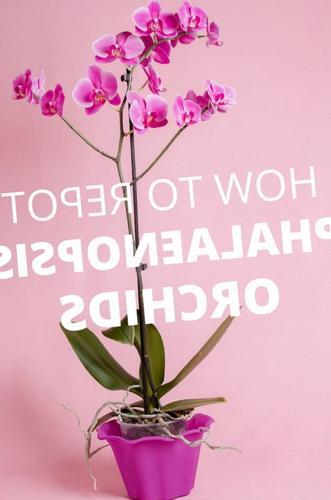 Cómo trasplantar las orquídeas Phalaenopsis (orquídea polilla)