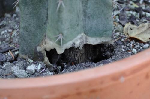 Con qué frecuencia regar los cactus (9 consejos esenciales)