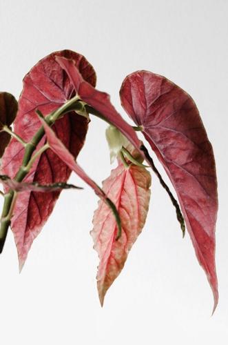 Cuidado de la Begonia Maculata - Cómo cultivar la Begonia de lunares