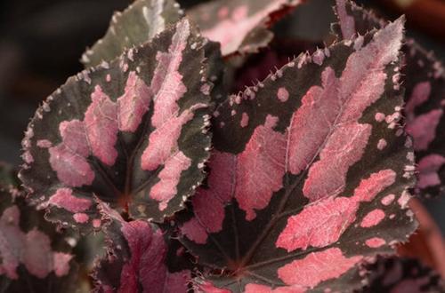 Cuidado de la begonia Rex en interiores (7 consejos para tener las mejores)