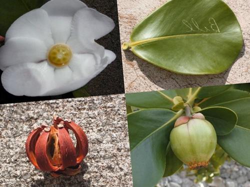 Cuidado de la Clusia Rosea - Cómo cultivar la Clusiaceae