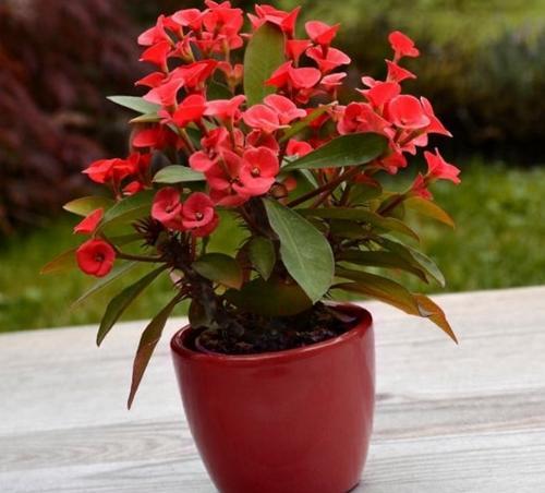 Cuidado de la corona de espinas (Euphorbia Milii)
