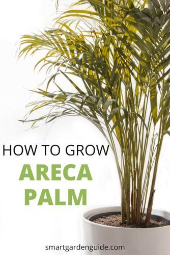 Cuidado de la palmera areca - Cómo cultivar la Dypsis Lutescens