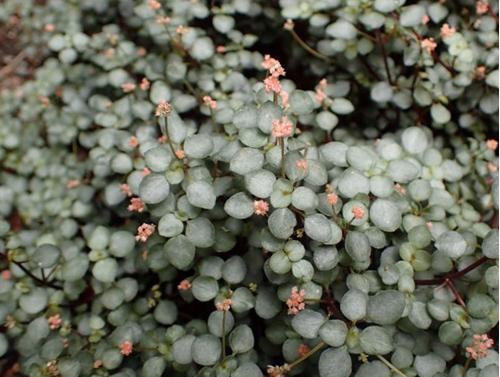 Cuidado de la Pilea Glauca - Cómo cultivar la Pilea Silver Sparkle